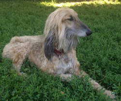 Sweet William Afghan Hound in Rescue story