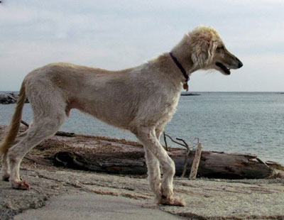 afghan hound on the beach