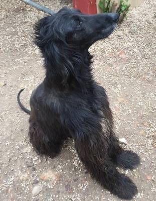 Afghan Hound Fez was recently listed for adoption. See our dog adoption page for more information on Fez or other dogs that are available for adoption