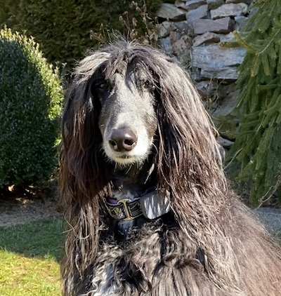 Feisel Afghan hound shown in yard available for adoption