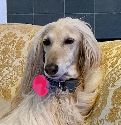 Feisel Afghan hound shown in out for walk available for adoption